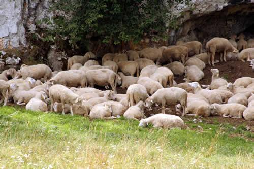 Herd of sheep in Slovak-Paradise
